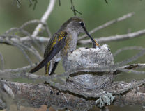 Annas hummingbird female feeding infant baby in nest, pismo beac Royalty Free Stock Photography