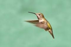 Annas Hummingbird in Flight, Female Stock Image