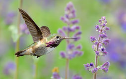 Annas Hummingbird in flight with purple lavender flowers Stock Image