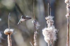 Annas hummingbird gathering nest material. Anna`s hummingbird gathering nest material at BC Canada stock photo