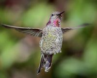 Annas Hummingbird i flyg Royaltyfria Bilder