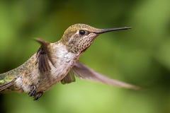 Annas Hummingbird i flyg Fotografering för Bildbyråer
