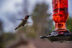 Annas Hummingbird lata w kierunku czerwonego podwórko dozownika fotografia stock