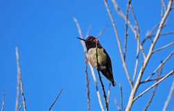 Annas Hummingbird at  Newport backbay, California. Image shows an Annas Hummingbird  (Calypte anna) at the Newport Beach backbay estuary,  Southern California Royalty Free Stock Photo