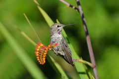 Annas Hummingbird pozycja na Crocosmia kwiatach Zdjęcie Royalty Free