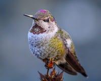 Annas Kolibri Stockbild