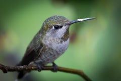 Annas-Kolibri Stockfotos