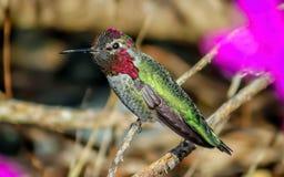 Annas-Kolibri Stockfoto