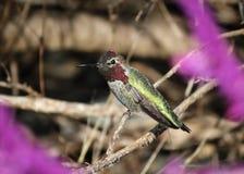 Annas-Kolibri Stockbild