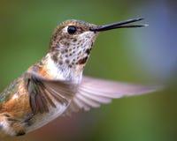 Annas Kolibri Stockfotografie