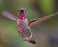 Annas Kolibri Lizenzfreies Stockbild