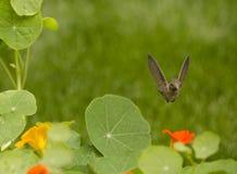 Annas Kolibri im Flug über orange und gelbem Kapuzinerkäse blüht Stockfotografie