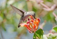 Annas kolibri som matar på Honeysuckle Flowers Arkivfoto