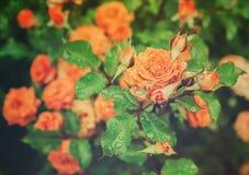 Annata arancio Rosa Fotografie Stock