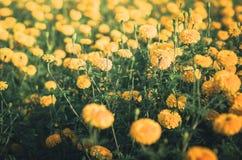 Annata del fiore di erecta di tagetes o dei tageti Fotografia Stock