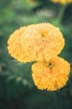 Annata del fiore di erecta di tagetes o dei tageti Immagini Stock Libere da Diritti