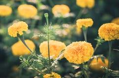Annata del fiore di erecta di tagetes o dei tageti Fotografie Stock