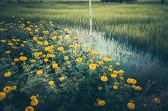 Annata del fiore di erecta di tagetes o dei tageti Immagine Stock