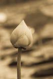Annata del fiore di loto Fotografie Stock Libere da Diritti