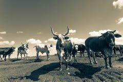 Annata del primo piano degli animali del bestiame Immagini Stock Libere da Diritti
