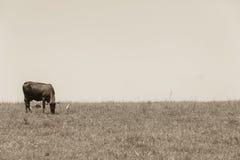 Annata della mucca del bestiame Fotografie Stock Libere da Diritti