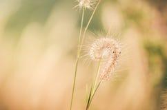 Annata nana dell'erba di coda di volpe Immagine Stock