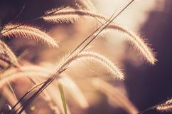 Annata nana dell'erba di coda di volpe Fotografie Stock Libere da Diritti