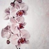 Annata rosa dell'orchidea Fotografia Stock Libera da Diritti