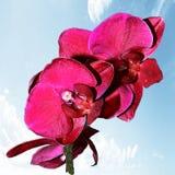 Annata rossa dell'orchidea Fotografie Stock