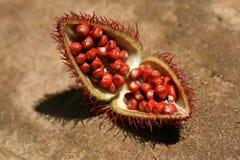 Annato - excursão da especiaria, Zanzibar fotos de stock