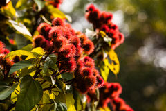 Annatto tree Stock Photography