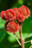 Annatto Tree Seed Pods Royalty Free Stock Image