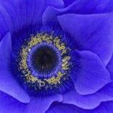Anne blu Fotografia Stock