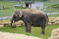 Anne elefanten Arkivfoton