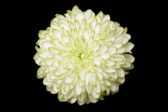 Annealed Chrysanthemum on black background Royalty Free Stock Image