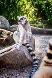 ` Anneau-coupé la queue de Catta de lémur de ` de lémur en safari-parc photographie stock libre de droits