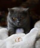Anneau de mariage comme symbole de mariage et chat des Anglais Shorthair Photos libres de droits