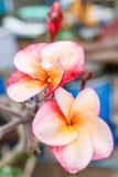 Anneau deux d'or avec l'orchidée rose Photo stock