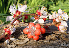 Anneau en verre fait main avec la fleur d'abricot Photographie stock libre de droits
