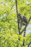 Anneau - lémur coupé la queue Photo stock