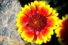 Anneau rouge jaune de barbacane ¡ D'osinatà de Kokarda photographie stock
