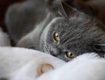 Anneaux de mariage comme symbole de mariage et chat des Anglais Shorthair Image libre de droits