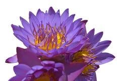 Anneaux les épousant dans un bouquet des bourgeons pourpres de lotus sur un fond blanc, d'isolement images stock