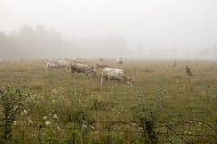 Annebbi sopra un'azienda agricola di bestiame mentre le mucche pascono in foschia di mattina Fotografie Stock