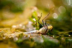 Annegamento della libellula fotografia stock