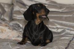 Annerisca ed abbronzi il cucciolo miniatura del bassotto tedesco che si siede con la bocca aperta Immagine Stock