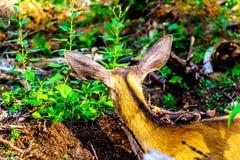Annerisca i cervi muniti che mettono su BC Tod Mountain nel Canada fotografia stock