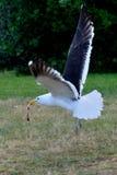 Annerisca il volo di appoggio del gabbiano con un pezzo di carne Fotografia Stock