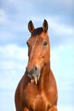 6 anni del cavallo che attacca la sua lingua Immagini Stock Libere da Diritti