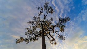 200 anni del pino fotografie stock libere da diritti